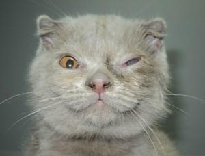 Блефароспазм (прищуривание век) у котенка с язвой роговицы.